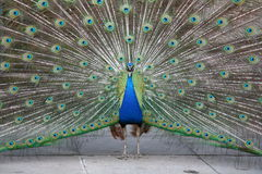 Screaming peacock Royalty Free Stock Photography