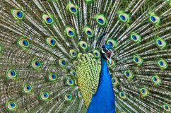 Screaming Peacock. Close-up image of a beautiful peacock sceaming Royalty Free Stock Photography