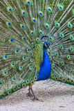 Screaming Peacock. Image of a beautiful peacock sceaming outside in a yard Royalty Free Stock Photo