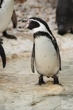 Screaming penguin. Porttrait of screaming penquin at ZOO Stock Images
