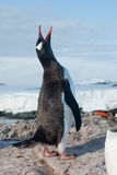 Screaming penguin. Gentoo penguin crying, singing a song in the spring of the colony Stock Photo