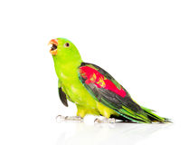 Screaming Red-Winged Parrot (Aprosmictus erythropterus) in profile Royalty Free Stock Image