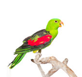 Screaming Red-Winged Parrot (Aprosmictus erythropterus) in profile. isolated on white Royalty Free Stock Photos