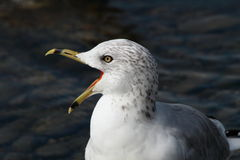 Screaming ring-billed gull  Royalty Free Stock Images