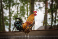 Screaming rooster Royalty Free Stock Photos
