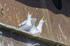 Screaming sea gulls Royalty Free Stock Images