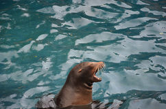 Screaming sea lion. Head screaming sea lion on blue water Royalty Free Stock Photography