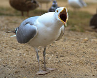 Screaming Seagull Stock Image
