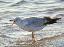 Screaming Seagull Stock Photos