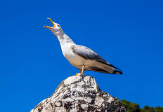 Screaming seagull Stock Images