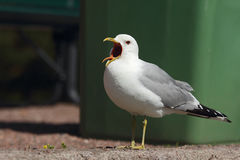 Screaming Seagull. Stock Images