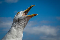 Screaming seagull Royalty Free Stock Photo
