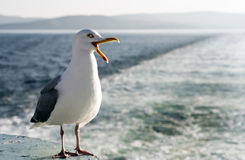 Screaming seagull. Screaming gull with open beak on sea background Stock Images