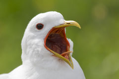 Screaming seagull Royalty Free Stock Image