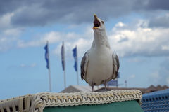 Screaming seagull Larus fuscus on a beach basket in a seaside Royalty Free Stock Images