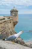 Screaming seagull near the ancient castle. Screaming seagull near the ancient castle Santa Barbara above the beach and a view to Mediterranean sea in Alicante Royalty Free Stock Image
