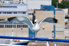 Screaming Seagull Sitting On Ferry Handrail Stock Photos