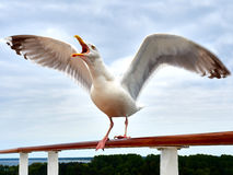 Screaming Seagull with spread wings Royalty Free Stock Image