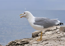 Screaming seagull standing on sea stone Stock Photography