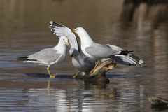 Screaming seagulls Stock Photography
