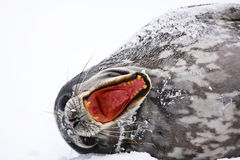 Screaming Seal Stock Photo
