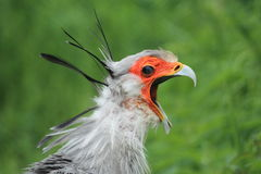 Screaming secretary bird. The detail of screaming secretary bird Stock Photo