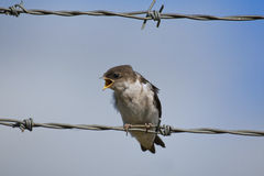 Screaming swallow Royalty Free Stock Images