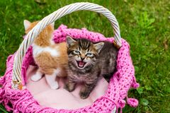 Screaming tabby kitten with blue eyes. Cute striped kittens in wicker basket on green grass outdoors. Space for text royalty free stock image