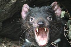 Screaming Tasmanian Devil Stock Images