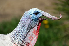 Screaming turkey. Shot of a screaming turkey on a grass Royalty Free Stock Photos