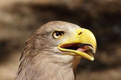 Screaming White-tailed Eagle (Haliaeetus albicilla Royalty Free Stock Photos