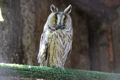 Screech-сыч в aviary стоковые фотографии rf