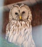 Screech-сыч в aviary стоковые фото