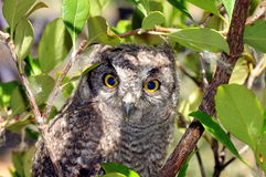 Screech owl. Sitting on a tree branch Royalty Free Stock Photography