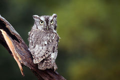 Screech Owl. Eastern Screech-Owl staring at the camera with a dazed expression Stock Images