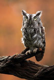 Screech Owl. Closeup of an Eastern Screech Owl against a blurred background Stock Images