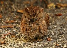 Screech owl Stock Photos