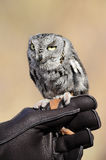 Screech Owl Stock Photography