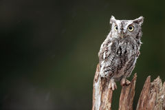 Screech Owl. Closeup of a Screech Owl against a blurred background Royalty Free Stock Photography