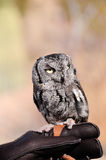 Screech Owl Stock Photos