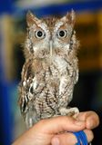 Screech Owl. Small Owl Found along the eastern United States Royalty Free Stock Images