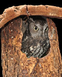 Screech owl. Sitting in a tree trunk looking out Royalty Free Stock Image