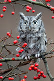 Screech Owl. Adult (gray phase) Eastern Screech Owl (Megascops asio) is a small, nocturnal, woodland owl Royalty Free Stock Image