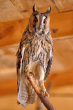 Screech-owl Royalty Free Stock Photography