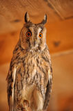 Screech-owl Royalty Free Stock Images
