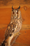 Screech-owl Royalty Free Stock Photo