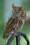 Screech Owl. A tiny screech owl rests on a perch Royalty Free Stock Photo