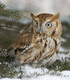Screech owl. In winter Royalty Free Stock Image