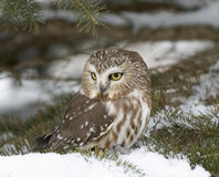 Saw Whet Owl Royalty Free Stock Images