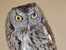 Screech owl. Close up head shot of a screech owl Royalty Free Stock Photography